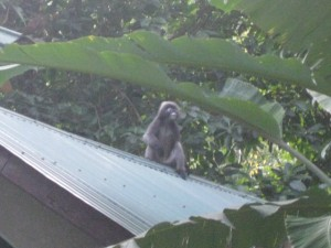 Monkey am Tonsai Beach
