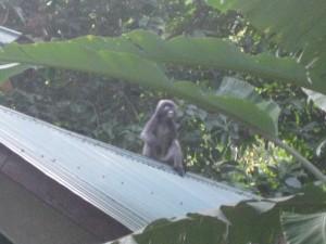 Monkey am Tonsai Beach
