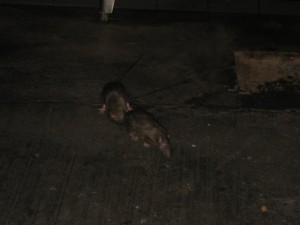 Ratte-Penang