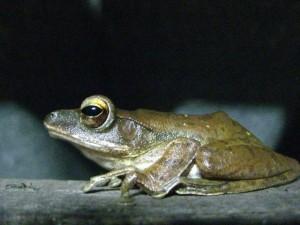 Frosch zu Besuch