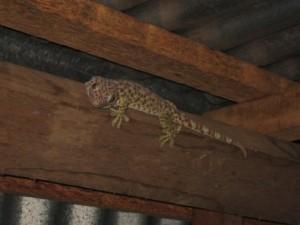 gecko-Pulau-Weh Gecko