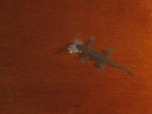 gecko-eat-Pulau-Weh