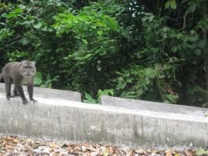 monkey-Pulau-Weh