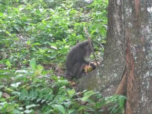 monkey-Pulau-Weh Coconut