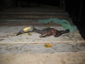 Hornbill-Koh_Phayam-7